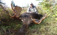 "Monster canadian  moose. 50"" spread"